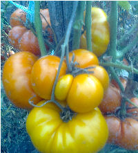 cretere nedeterminata, maturitate medie, seminte