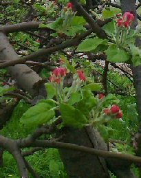 Seminte de rosii de gradina
