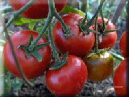 seminte de rosii crestere determinata