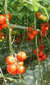 defoliere rosii tomate