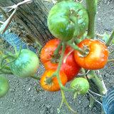 seminte de rposii