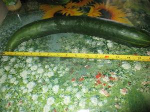 seminte de rosii castraveti