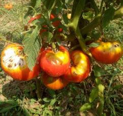 mana la tomate