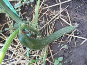 seminte de castraveti