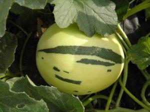 seminte de pepeni