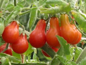 seminte de rosii